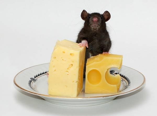 Советы  по выбору квартиры. Мыши - неприятный сюрприз.